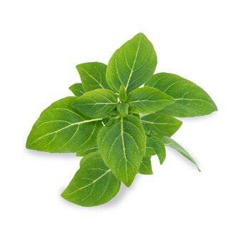 Basilic fin vert recharge Lingot pour potager Véritable